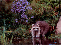 Racoon at Pond